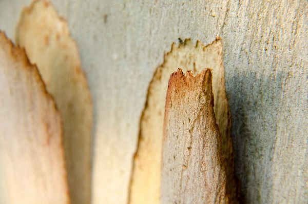 Eucalyptus 1 DSC_9198